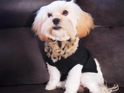 Angels Shih poo Picture