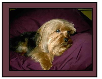 #picture Angels  Yorkies & Designer Puppies 45244 Male Yorkie Stud