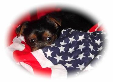 #picture Angels Yorkies and Designer Puppies Baby Yorkie wrapped in flag picture
