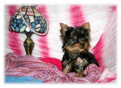 Angels Yorkies & Designer Puppies