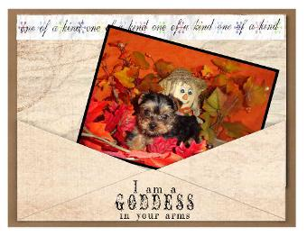 #Angels Yorkies and Designer  Puppies picture of yorkie 45244