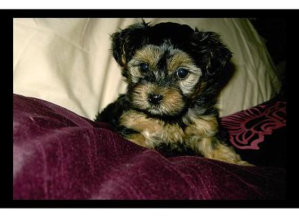Angels Designer Yorkipoo puppy picture
