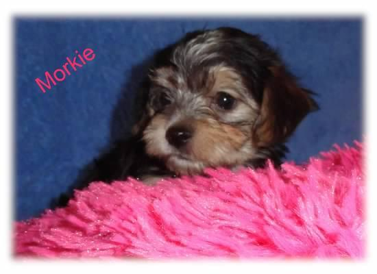 Angels Yorkies Designer Puppies
