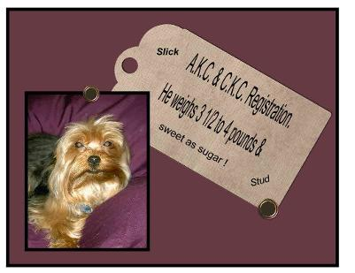 picture Angels Yorkies & Desinger Puppies 45244 Male Yorkie Stud Slick