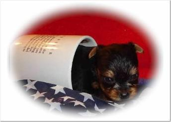 Angels Yorkies & Designer Puppies 45244 Yorkie puppy in a cup picture