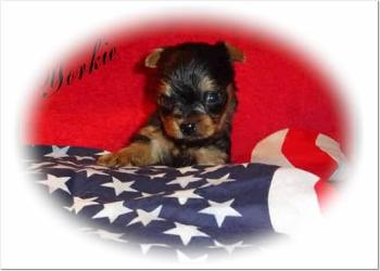 Angels Yorkies & Designer Puppies 45244 Yorkie Puppy with paw on flag