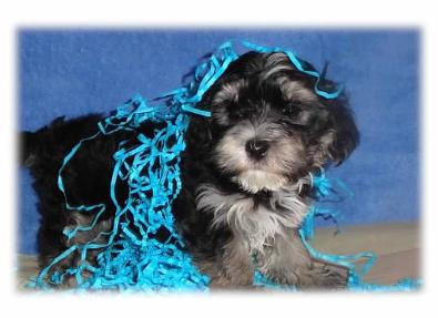 Angels Morkie puppy picture 45244