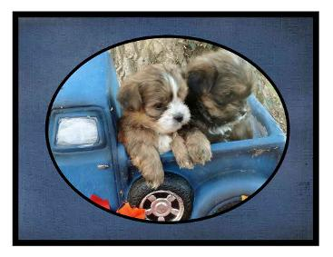# picture Angels Yorkies & Designer Puppies 45244 Two Shorkie puppy in a truck picture