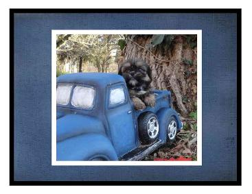 # picture Angels Yorkies & Designer Puppies 45244 one Shorkies in a truck picture